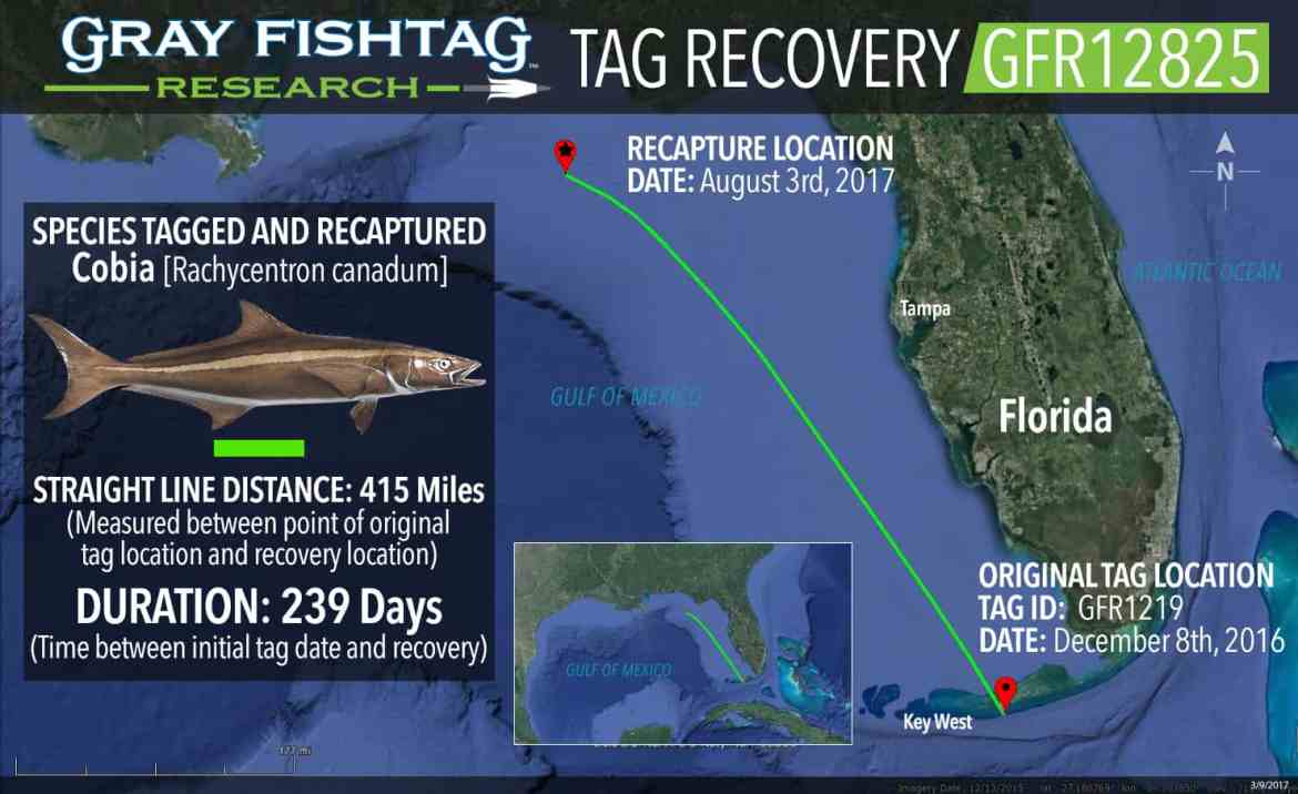 GFR12825-Cobia-Recovery