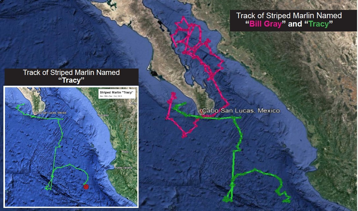 Movement Track of Tracy the Striped Marlin