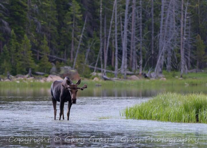 Bull Moose in a Northern Colorado Lake.