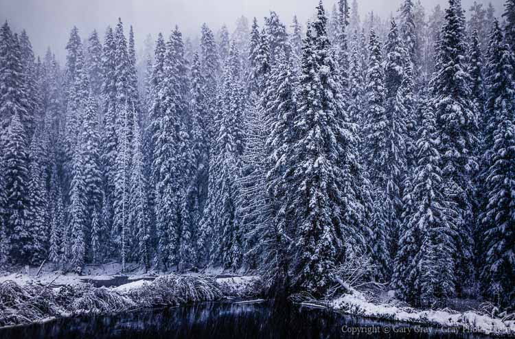 Snow storm and pine trees in Colorado