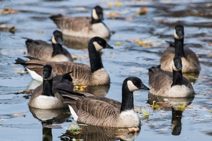 Testing the Nikon D850 on Cackling Geese