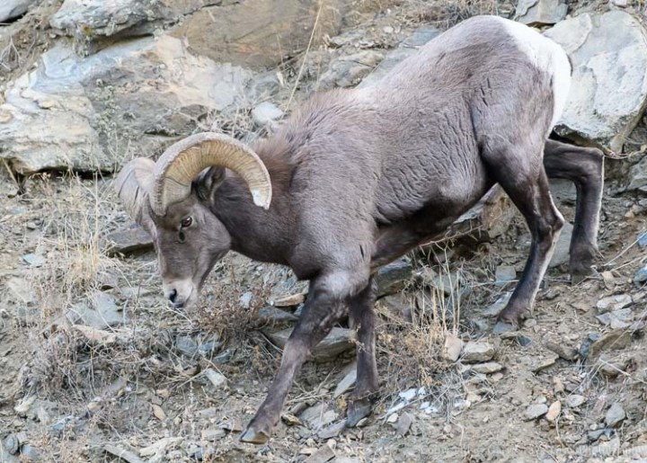 Bighorn Sheep Ram on the Move Before Sunrise