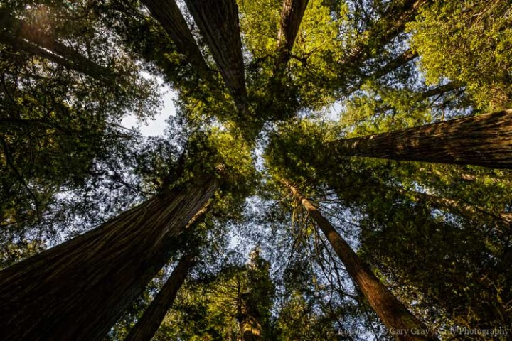 Giant Redwood Trees - Northern California