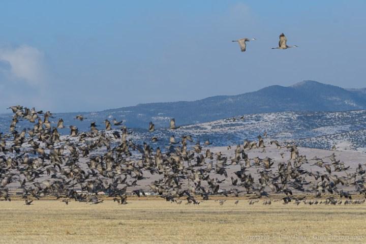 Sandhill Crane Blastoff. Migrating Greater Sandhill Cranes in Mo