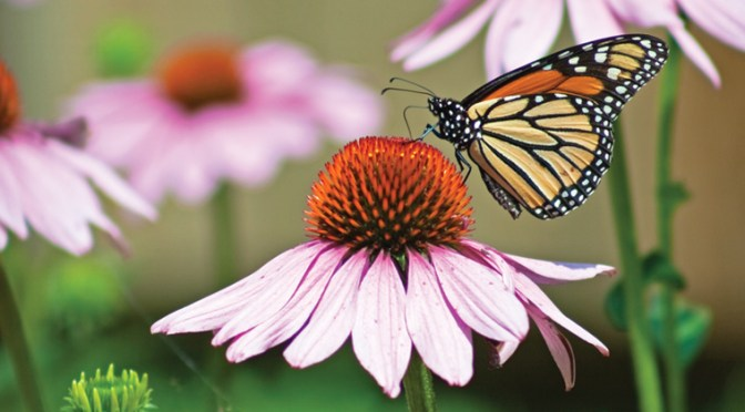 Butterfly Gardens: Bring Winged Beauties to Your Yard