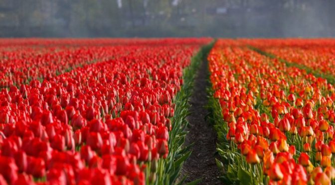 Got Spring Fever? Visit the flower gardens at Keukenhof in Holland!