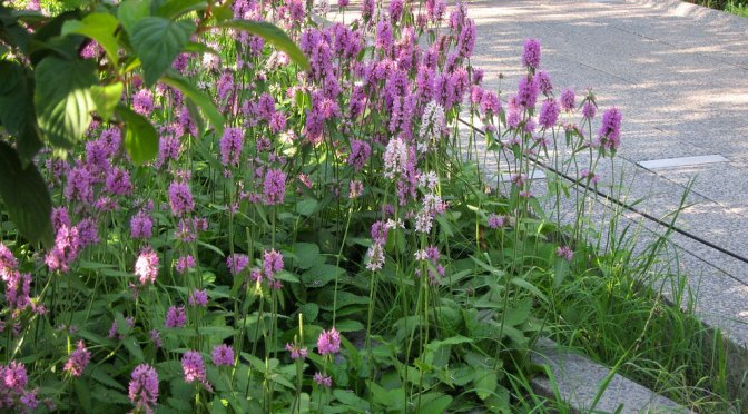 2019 Perennial Plant of the Year – Stachys 'Hummelo'