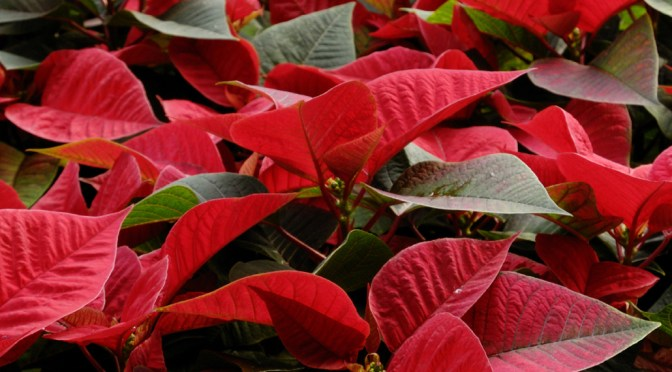 Poinsettia Plant Care Tips