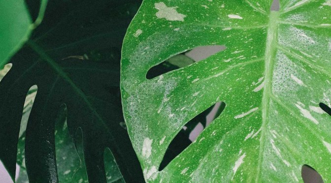 Houseplant of the Month: Monstera Deliciosa
