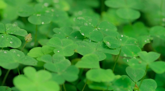 Houseplant of the Month: Shamrock