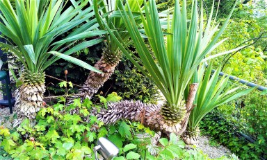 A palm on the Schloßberg next to the tables of the Starcke Haus a symbol for Graz' mild mediterranean climate