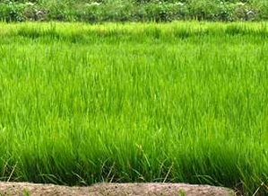 Agronomy – Guyana Rice Development Board