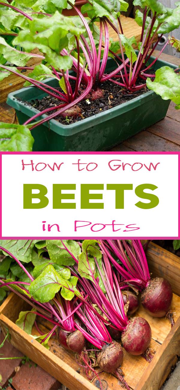 How To Grow Beets In Pots Organic Gardening