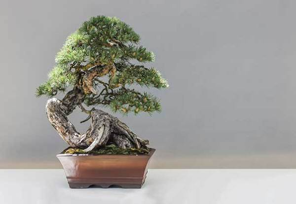 Bonsai Care The Great Big Greenhouse