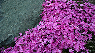 Creeping phlox has arrived.