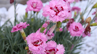 Locally grown Dianthus