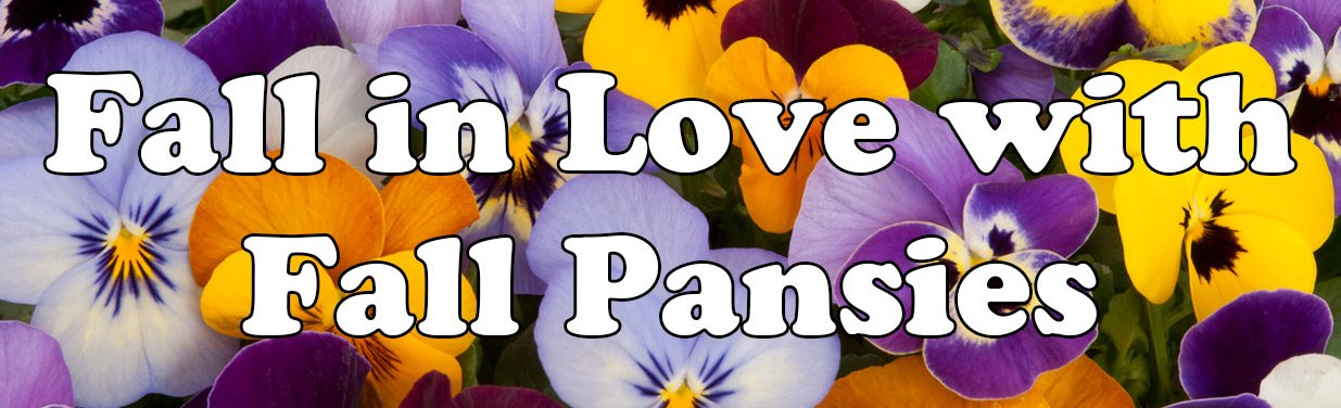 Fall in Love with Fall Pansies