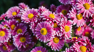 Close up shot of a purple mum with gold centers