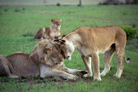 Лев Panthera leo 187 Magnus Felidae Великие Кошачьи