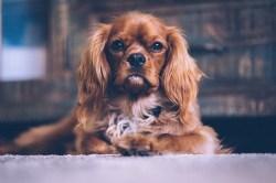 vacuuming dog hair, pet hair on floors with Shark or Hoover pet vacuum cleaners