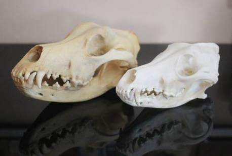 Gt Dane & coyote skulls