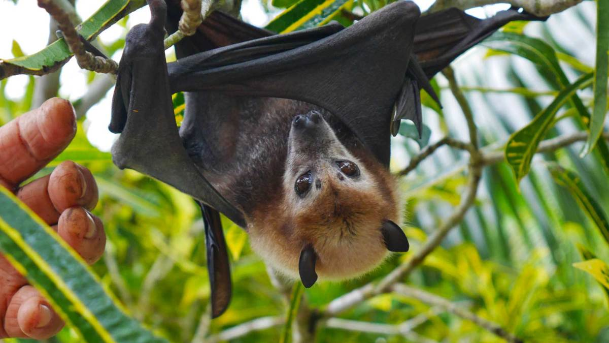 niue-misa-flying-fox-3