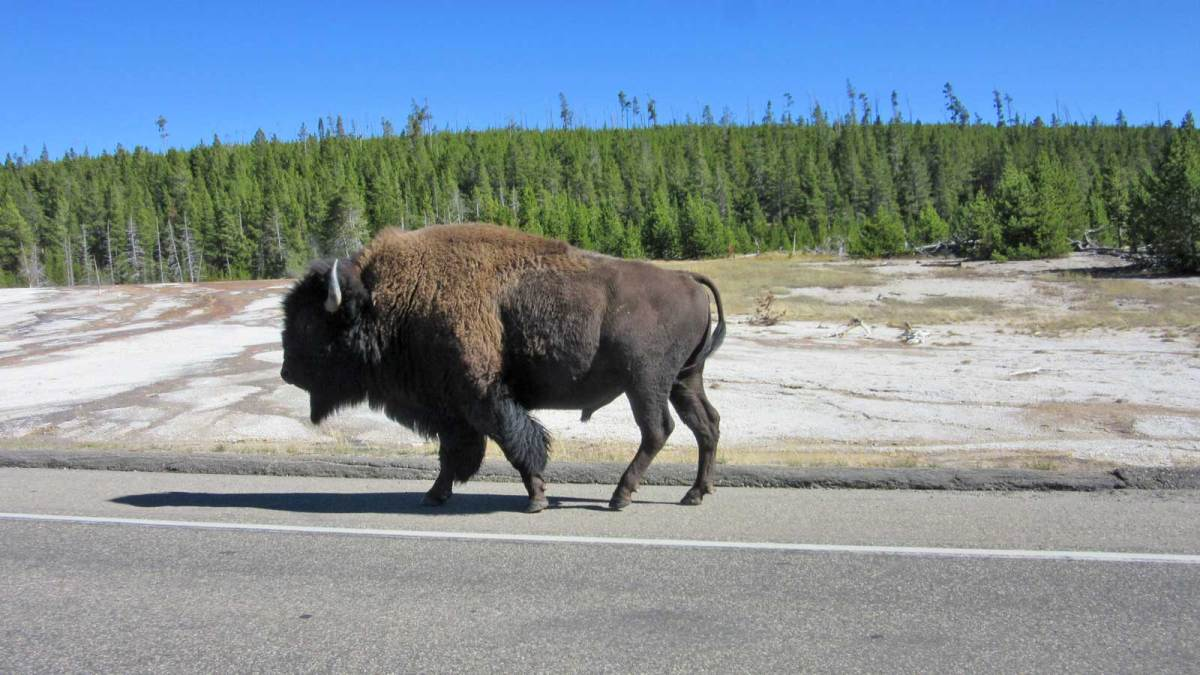 yellowstone-bison-on-road