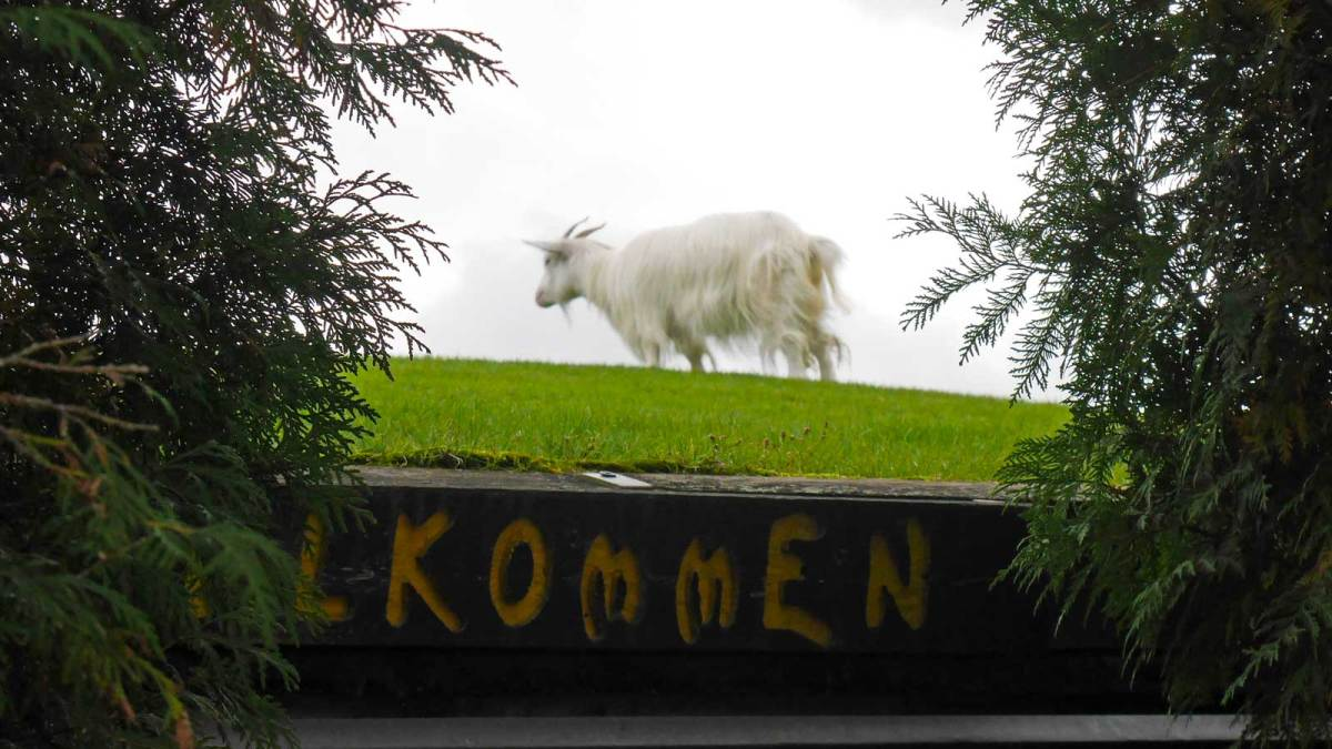 A goat on the roof of Al Johnson's Swedish Restaurant