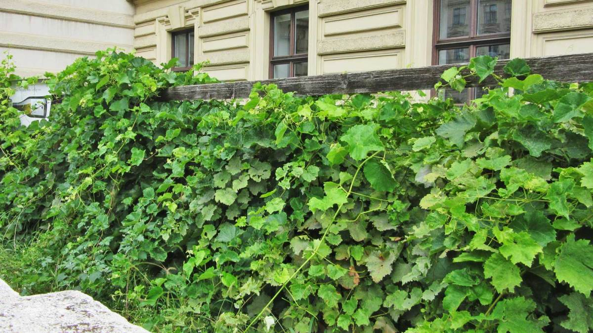 Vines growing in the city centre