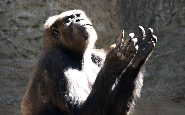 Praying Gorilla   Losing My Religion   Greater Ape