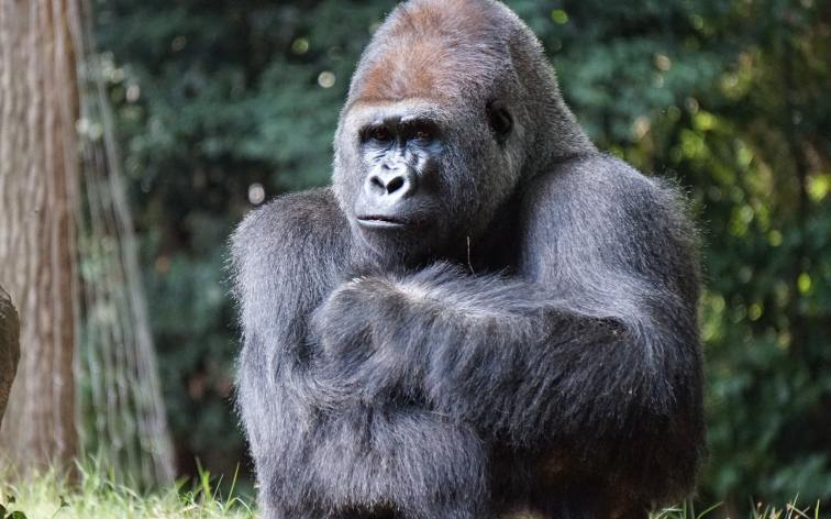 Thinking Ape   When Standing Means Standing   Greater Ape