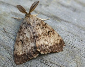 Moth- wings tented over abdomen Photo credit Wikimedia Commons user: ©entomart