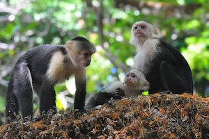 Capuchin monkeys