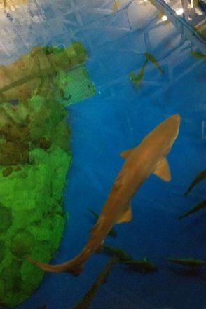SW-Shark