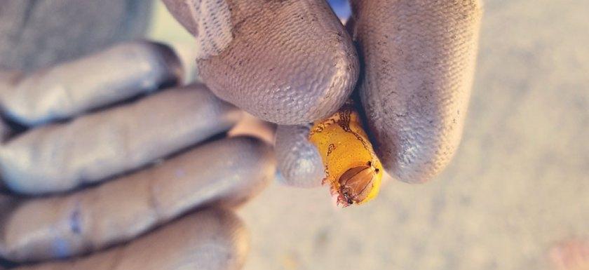Heterocampa Moth Caterpillar