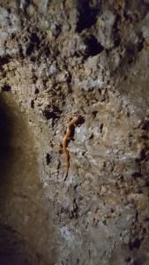 greensfelder-mud-cave-salamander