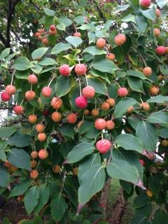 Cornus Kousa Fruit is Edible | The Kousa Dogwood