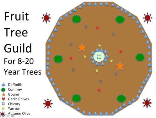 Permaculture Plant Guilds Plants helping Plants - Fruit Tree Guild for 8 to 20 Year Trees