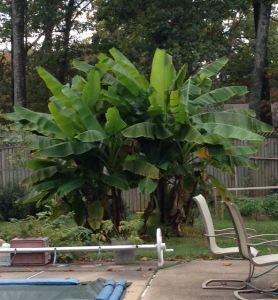 Hardy Banana Plant Information - Back Banana