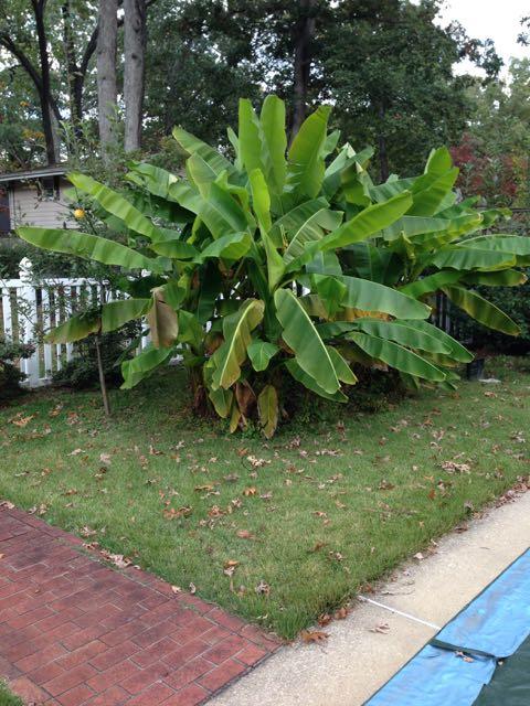 Hardy Banana Plant Information - Front Banana
