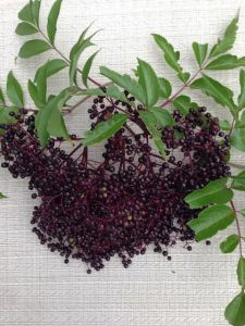 American Elderberry Plants for Sale at Great Escape Nursery