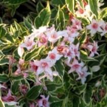 Weigela florida Variegata Plant Information