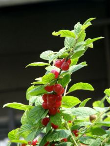 Nanking Cherry Plants for Sale at Great Escape Nursery