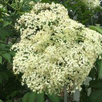 Growing Elderberries - The Flower