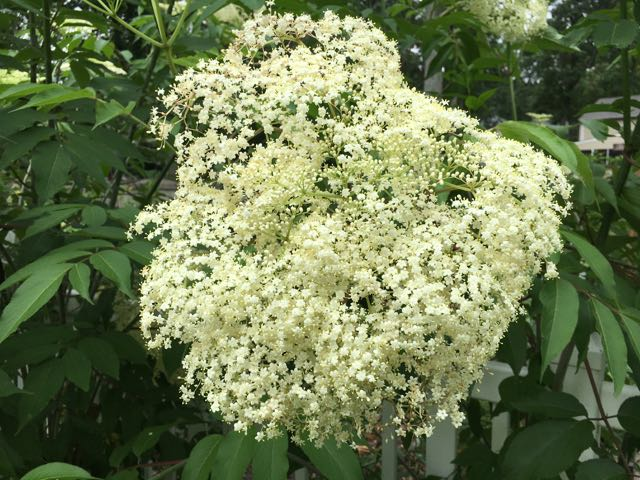 Growing Elderberries - The Flower