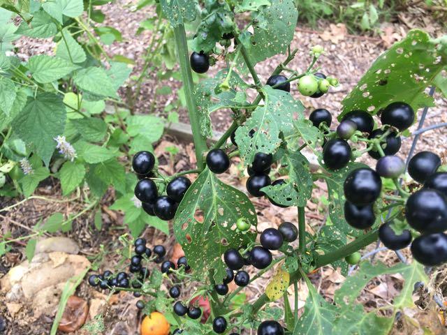 Great Escape Farms Garden Huckleberry aka Solanum nigrum aka Wonder ...