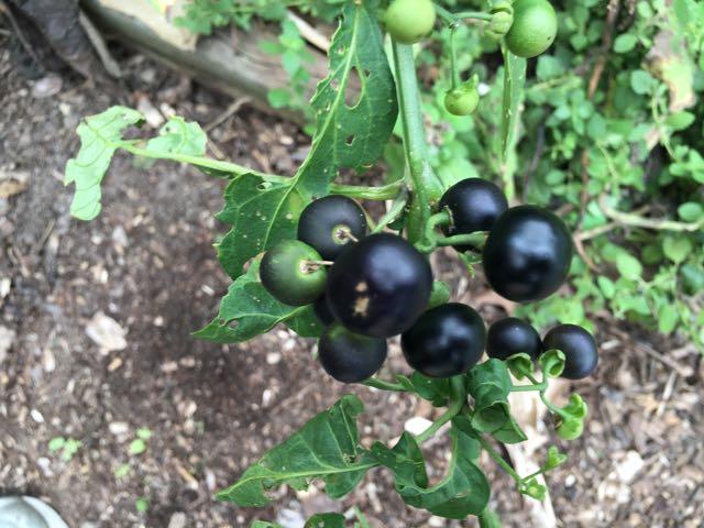 Garden Huckleberry aka Solanum nigrum aka Wonder Berry
