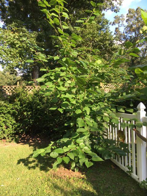 Propagating Illinois Everbearing Mulberry
