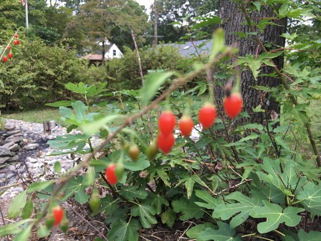 Harvesting Goji Berry | Wolfberry | Lycium barbarum