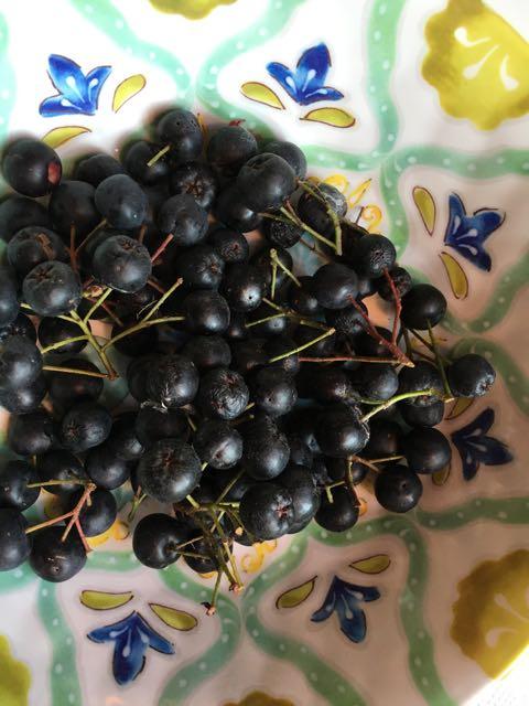 Harvesting Aronia | Harvesting Aronia Berries